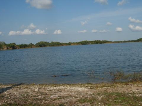 Allligators swimming in a pound near Flamingo