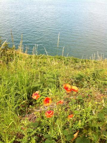 Poppies looking flowers
