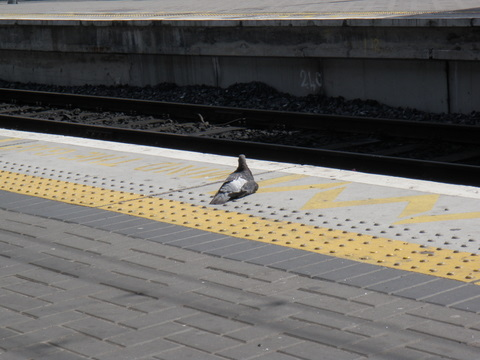Pigeon in the train station