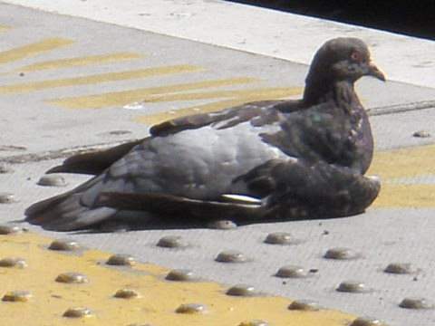 The pigeon relaxing by the tracks