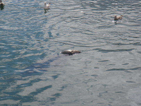 Seals in the port of Howth