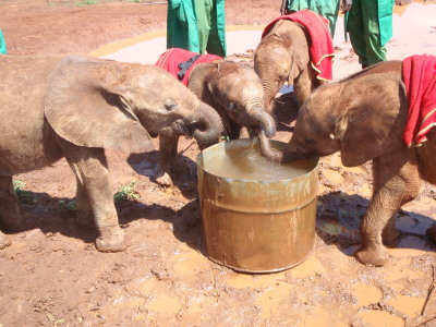 BSmall elephants at the David Sheldrick Wildlife Trust's Orphan's Project in Nairobi