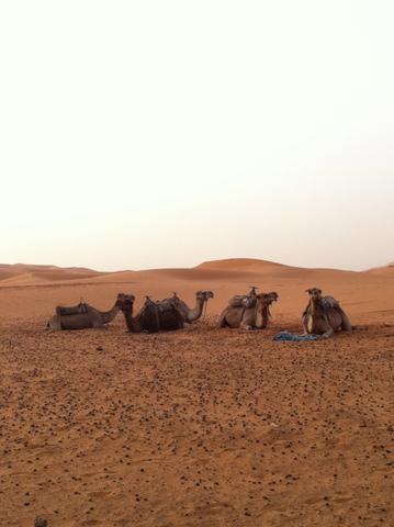 Camels resting in the dunes of Morocco