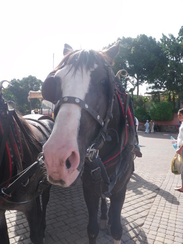 Horse-cabs of Marrakech...I am not sure if they like their jobs