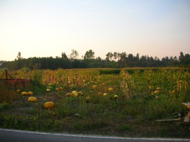 Fields of pumpkins near Serredade (Lontro)