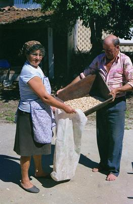 Dad and mum, the bean harvest