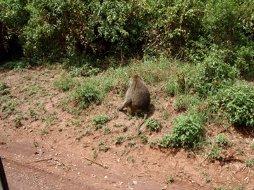 Baboons are evrywhere in Manyara
