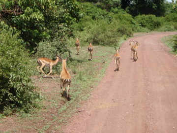 Impalas running on the road