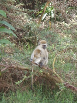There are many velvet monkeys in Manyara Lake