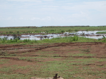 A pond with hippos