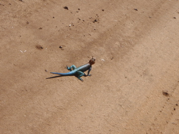 The blue and red head agama lizard