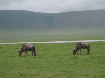Wildebeest grazing in Ngorongoro