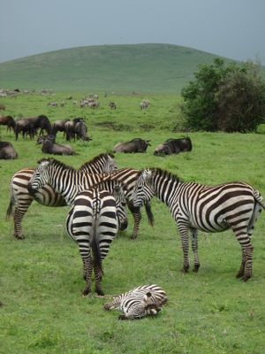 Baby zebra laying on the ground<br><br>  <img src=http://fernandocandido.com/trips/tanzania/PC261884.JPG alt=