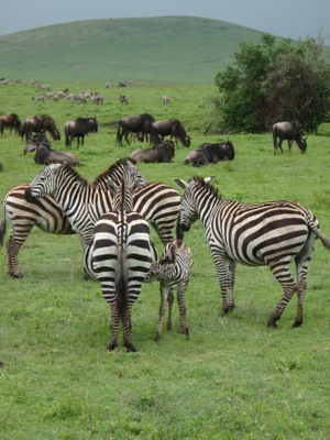Zebras are a beautiful animal