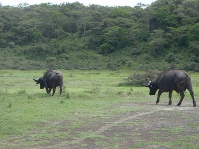 Water Buffaloes are one of the most dangerous animals in Africa